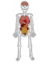El hombre esqueleto, huesos y órganos